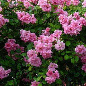 Rose Paesaggistiche