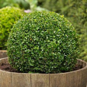 Vivaio roma garden centro per il giardinaggio a roma for Bosso vaso