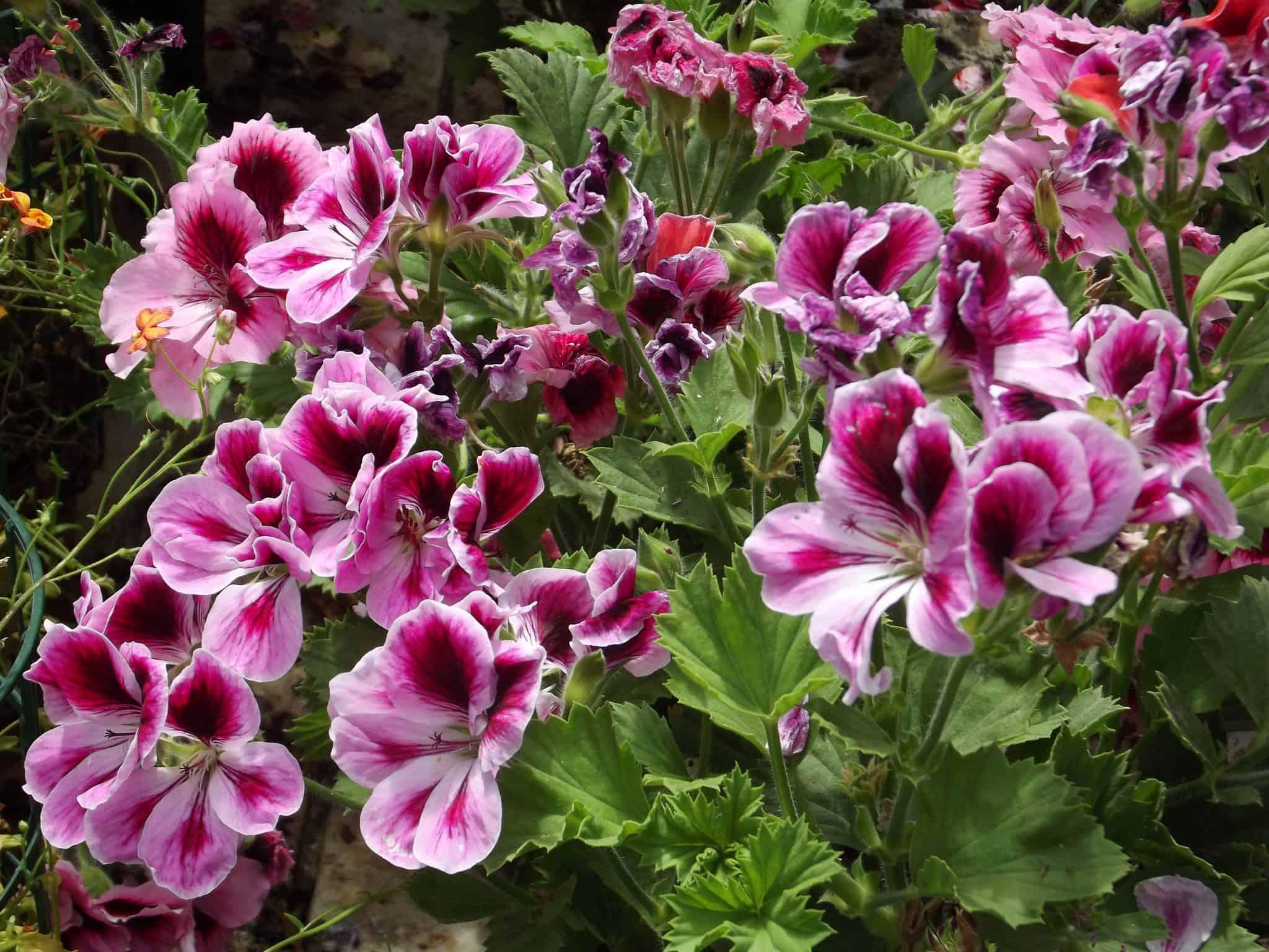 Piante vivaio roma garden for Cespugli sempreverdi fioriti