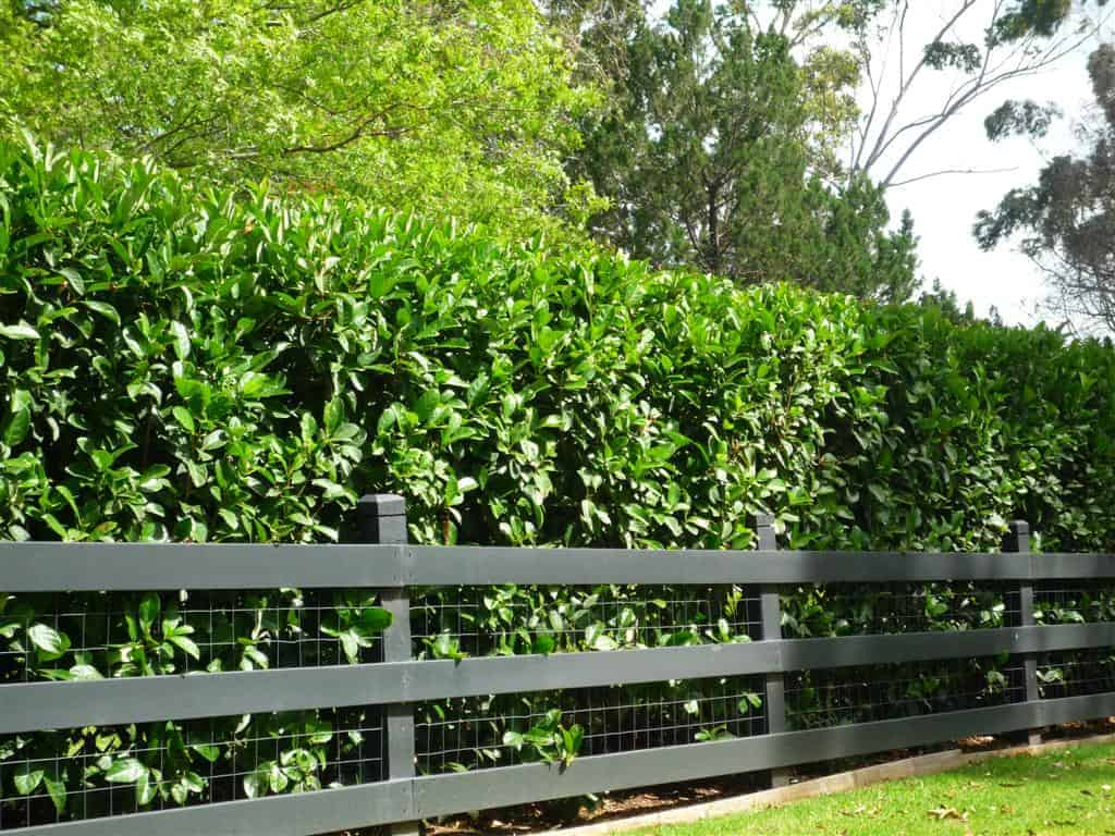 Piante Da Siepi Immagini piante da siepe - sempreverdi formali ed informali anche da