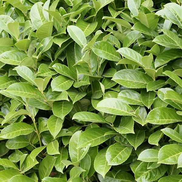 Piante da siepe vivaio roma garden for Piante da vivaio