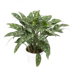 Aglaonema - pianta da appartamento