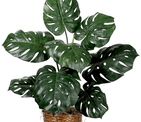 monstera- piante da interno