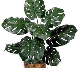 monstera- piante da interno