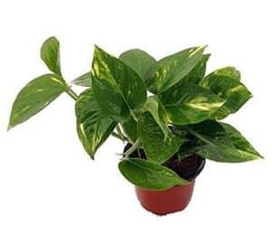piante da interno - potos