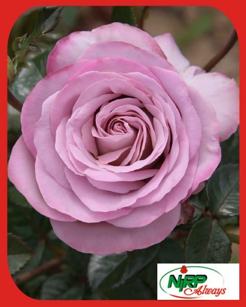 Rose NIRP