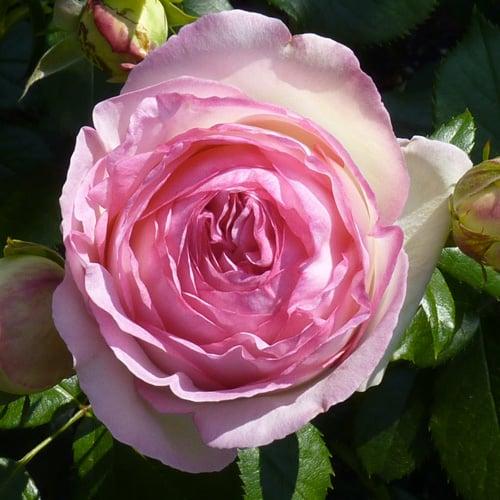 rose a fiore pieno