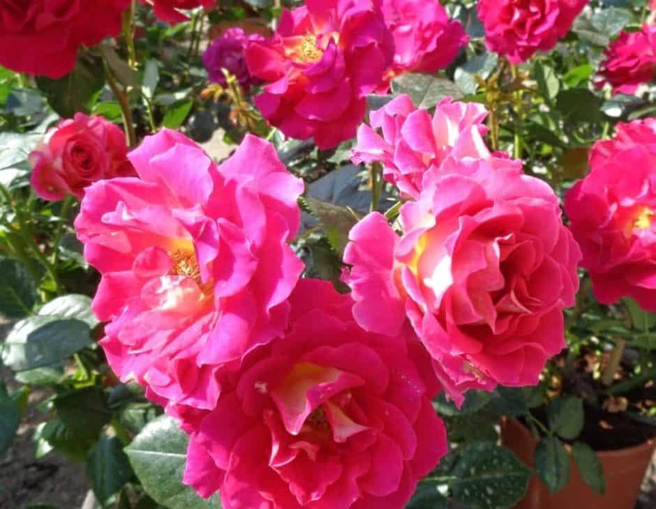 rose a fiore semidoppio