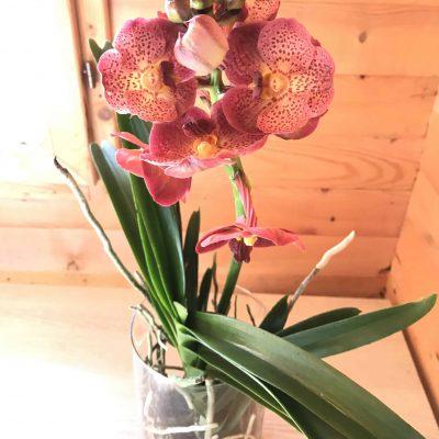 piante_da_interno_orchidee