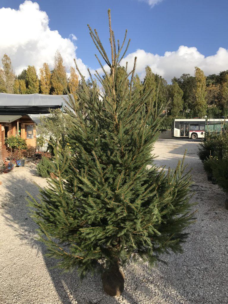 Alberi Di Natale In Vendita.Alberi Di Natale Veri Roma Vendita E Noleggio Alberi Per Natale 2020