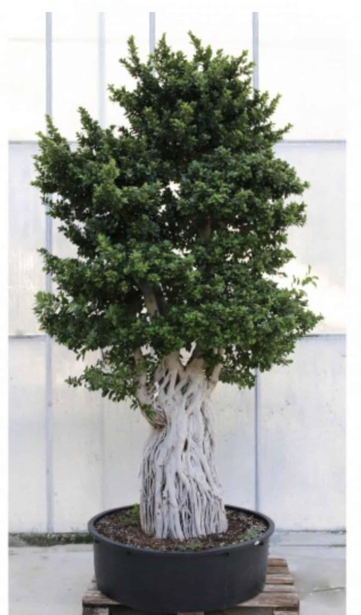 Ficus_Macro