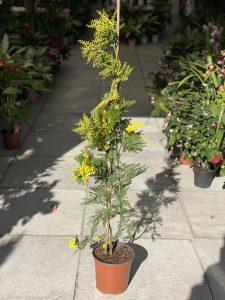 mimosa-piccola