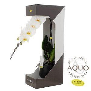 orchidea-cascade-lineare