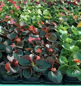 Begonia stagionale