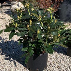Rododendro medio