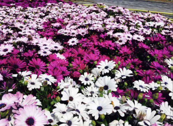 Dimorfoteca fioritura