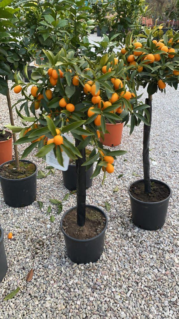 Kumquat medio