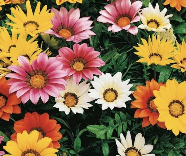 Gazzania fioritura
