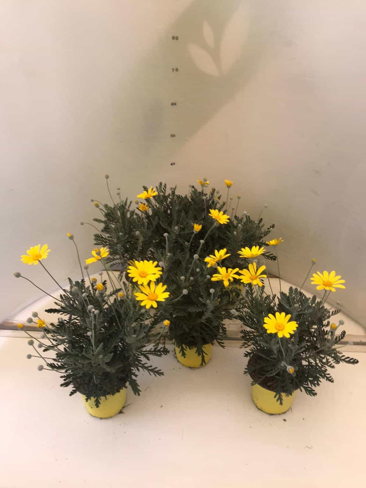 Barba Di Giove Sempreverde margherita gialla - vivaio roma garden