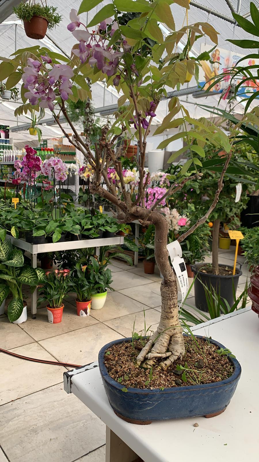 Quando Potare Il Glicine bonsai di glicine - vivaio roma garden