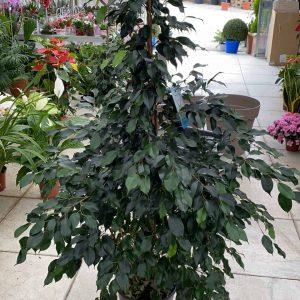 Ficus_benjamin