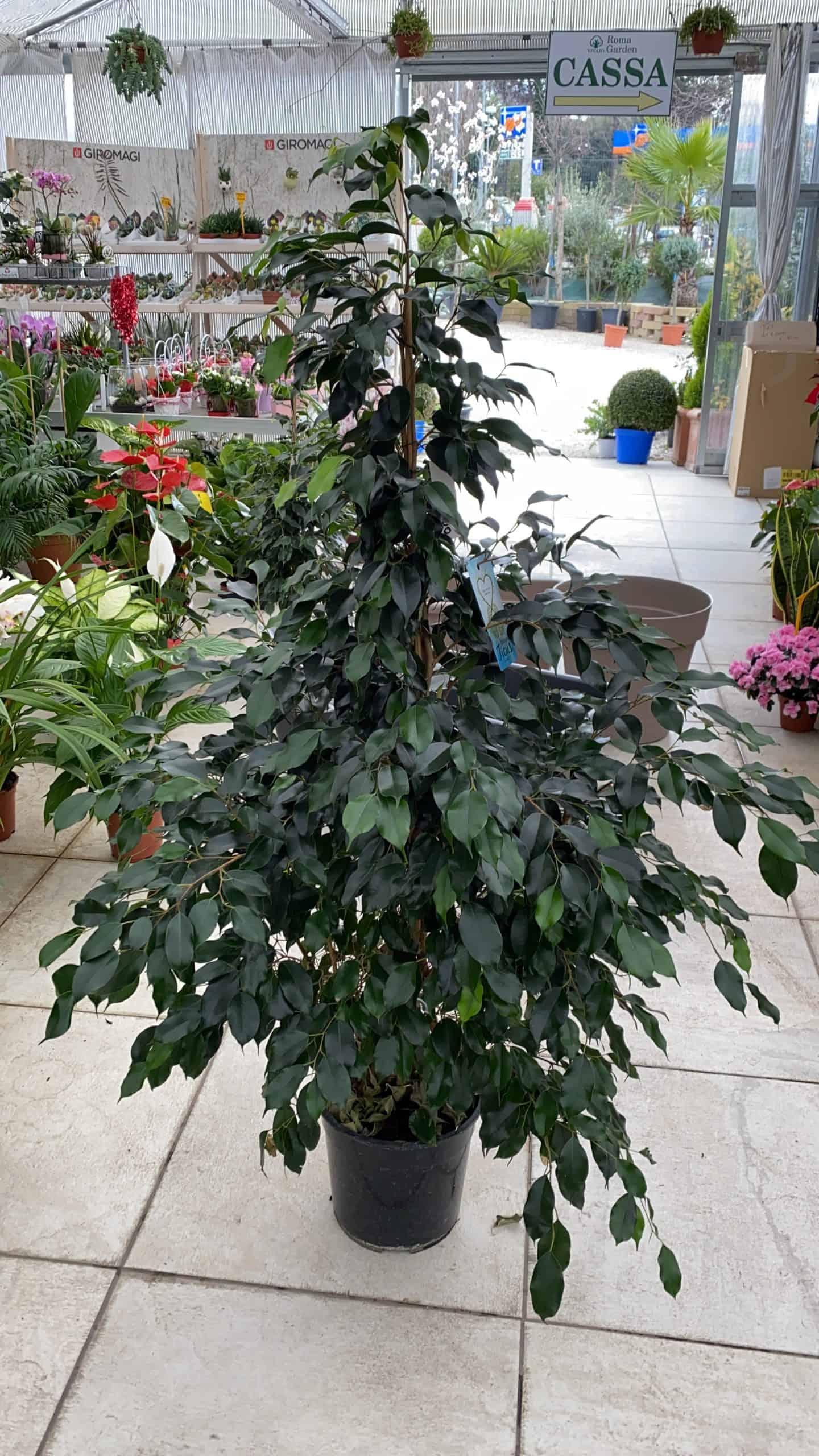 Cura Del Ficus Benjamin ficus benjamin - vivaio roma garden