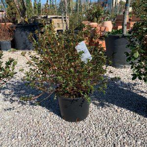 Azalea japonica media