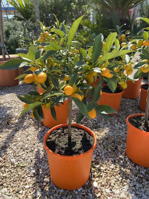 Kumquat piccolo