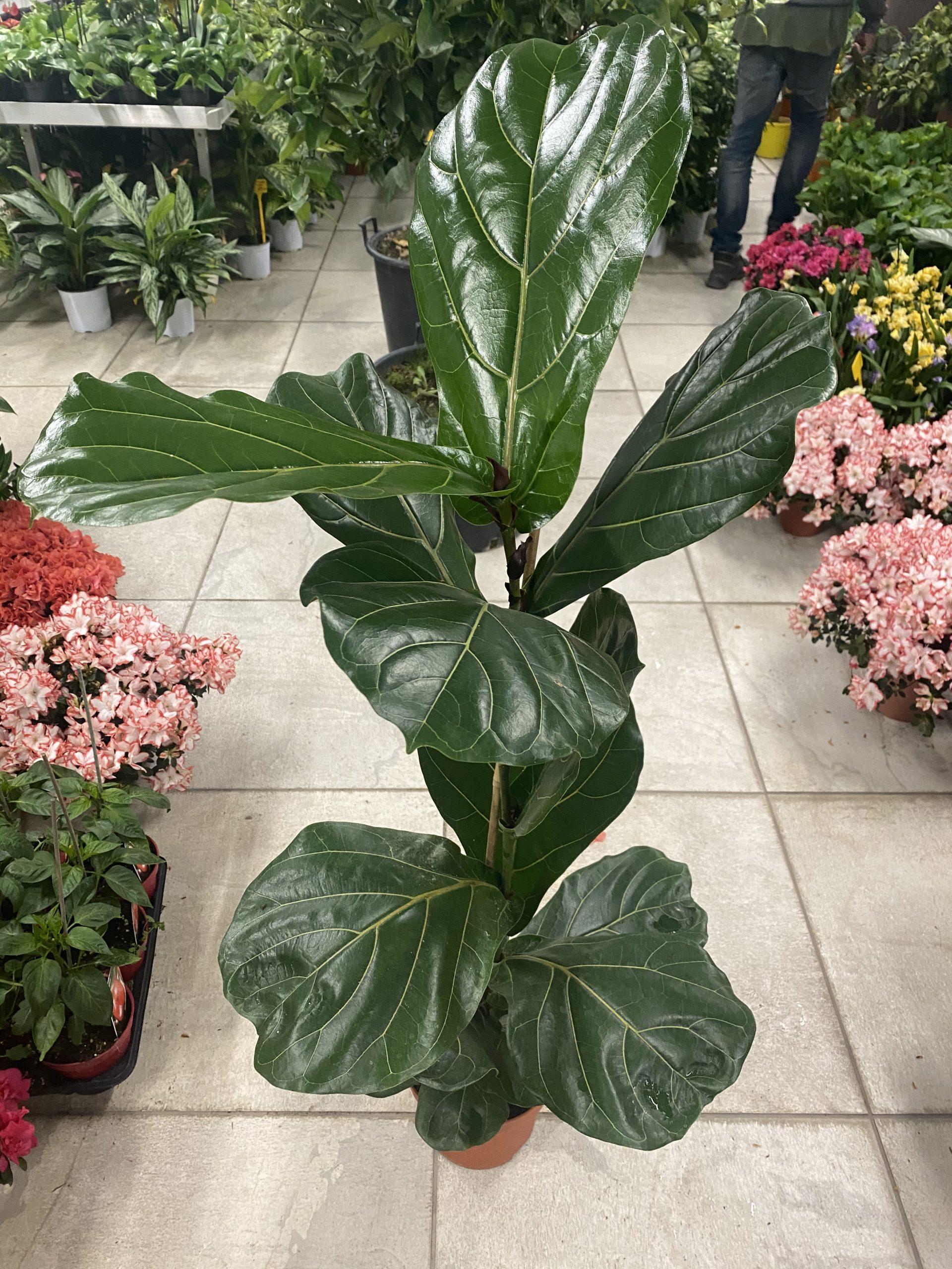Ficus Lyrata - Vivaio Roma Garden