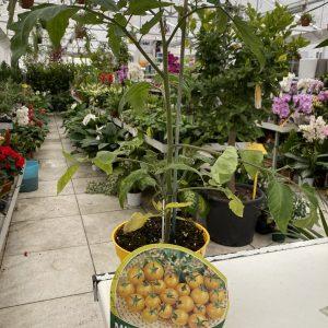 Pomodoro gialli