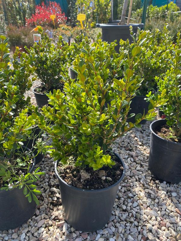 Bosso - Buxus
