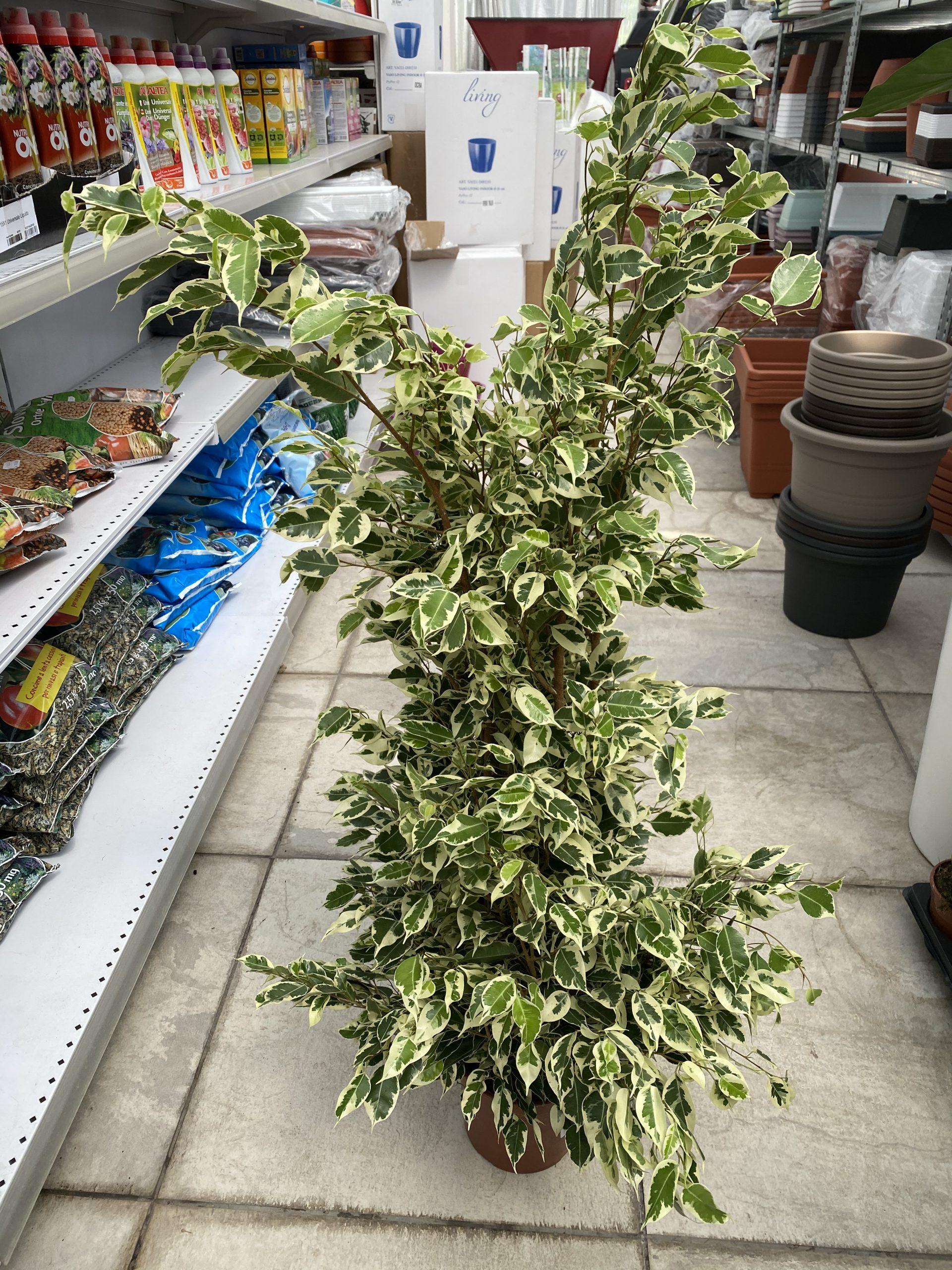 Ficus Benjamin Starlight - Vivaio Roma Garden