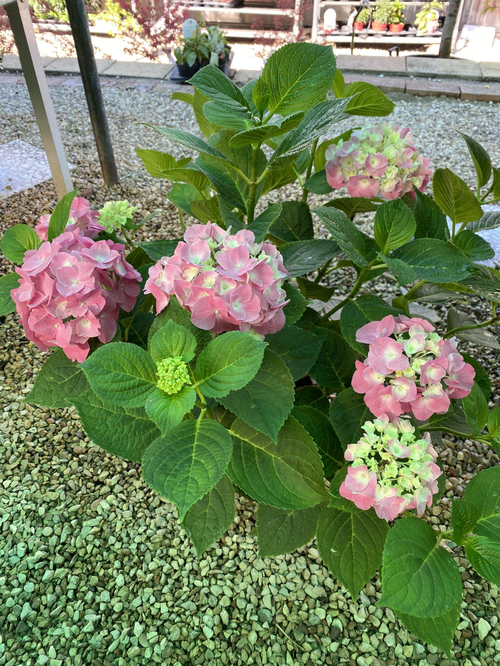 Ortensia Offerta - Vivaio Roma Garden