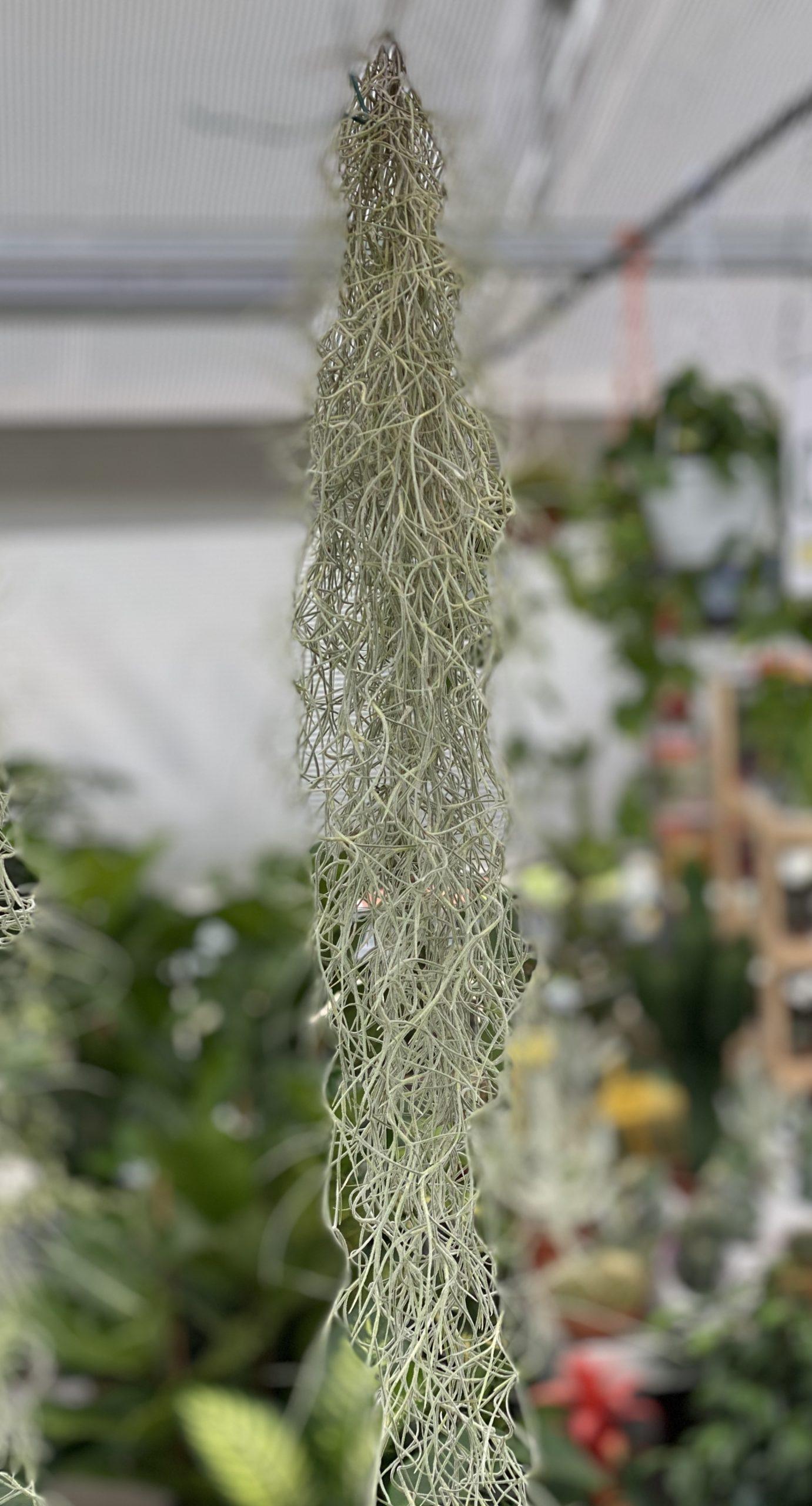 Tillandsia usneoides - Vivaio Roma Garden