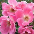 Rose rifiorenti